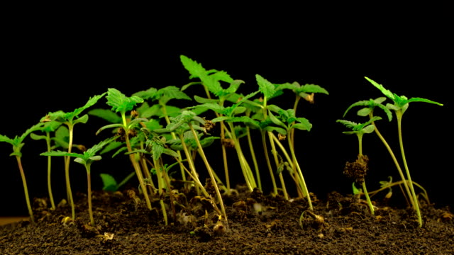 Marijuana Plant Growing Marijuana Plant Growing on a Black Background. Time Lapse. marijuana herbal cannabis stock videos & royalty-free footage