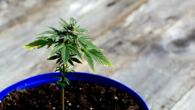 Marijuana plant Marijuana plant closeup footage hashish stock videos & royalty-free footage