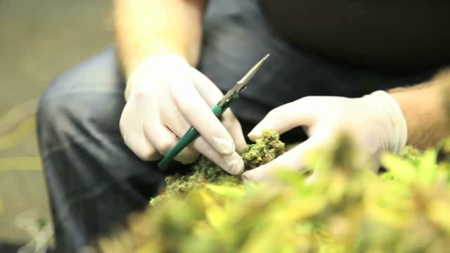 marijuana, weed, buds, cannabis, plant, pot - hasch bildbanksvideor och videomaterial från bakom kulisserna
