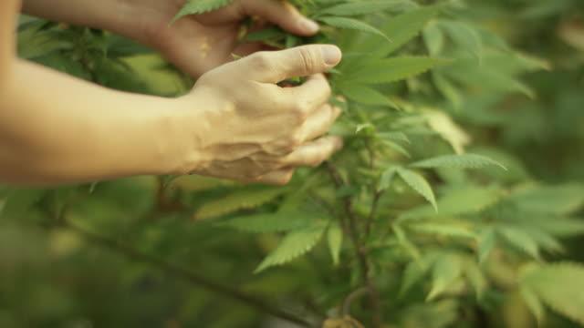haschisch/hanf plant - dachgarten videos stock-videos und b-roll-filmmaterial