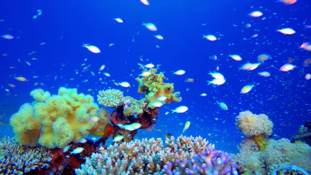 Marine Coral Garden Underwater sea fish. Tropical fish reef marine. Colourful underwater seascape. Soft-hard corals seascape. Reef coral scene. Coral garden seascape. Underwater ambience coral reefs aquatic organism stock videos & royalty-free footage