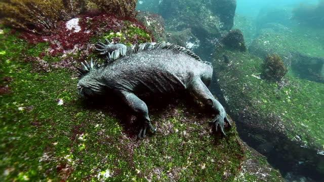 Marine Iguana kruipt op steen en eet algen onderwater oceaan. video