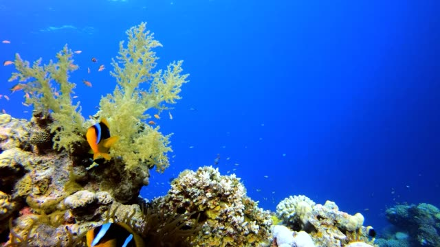 Marine Life Clownfish Underwater tropical clownfish (Amphiprion bicinctus) and sea anemones. Red Sea anemones. Tropical colorful underwater clown fish. Reef coral scene. Coral garden seascape. Colorful tropical coral reefs. aquatic organism stock videos & royalty-free footage