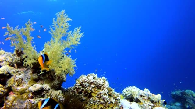 vídeos de stock, filmes e b-roll de peixe-palhaço da vida marinha - equipamento de esporte aquático