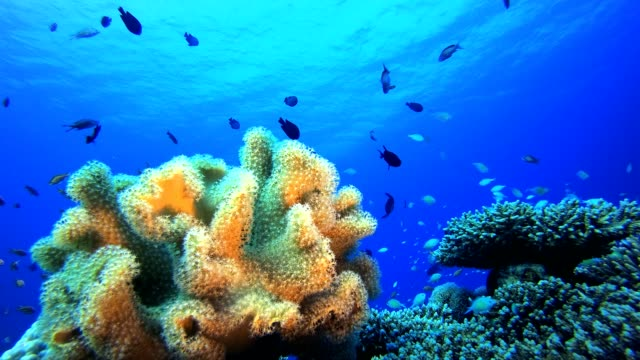 Marine Life Coral Garden Underwater tropical colourful soft-hard corals seascape. Underwater fish reef marine. Tropical colourful underwater seascape. Reef coral scene. Coral garden seascape. Colourful tropical coral reefs aquatic organism stock videos & royalty-free footage