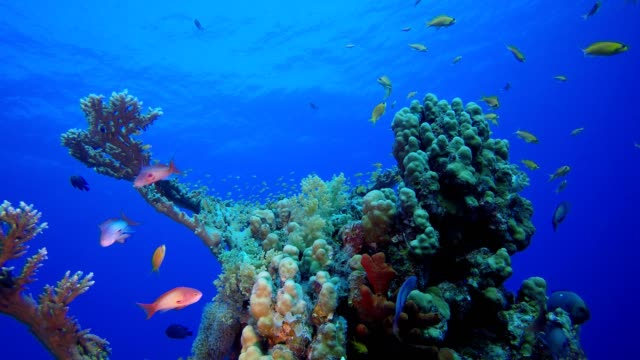 Marine Life Tropical Fish Garden Underwater tropical colourful soft-hard corals seascape. Underwater fish reef marine. Tropical colourful underwater seascape. Reef coral scene. Coral garden seascape. Colourful tropical coral reefs aquatic organism stock videos & royalty-free footage