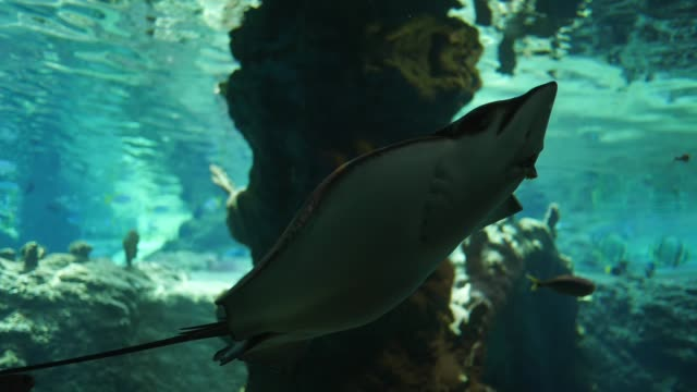 vídeos de stock e filmes b-roll de marine park, stingrays swim among small fish in captivity in clean water - torpedo