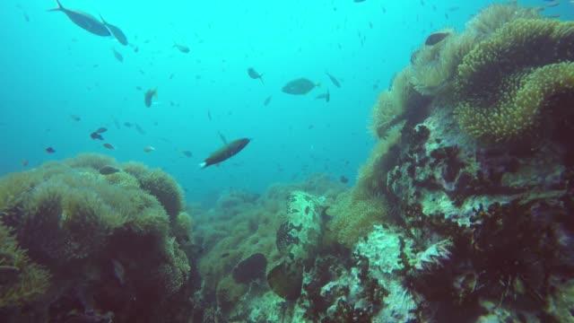 marin dykning. undervattens tropiska korallrev seascape. enorm jätte grouper djupt i havet vattenlevande koraller ekosystem. stor brindlebass eller brun prickig torsk eller humla. vatten extrem sport hobby - iktyologi bildbanksvideor och videomaterial från bakom kulisserna