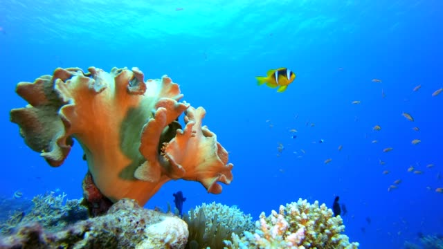 Marine Tropical Life Clownfish Underwater tropical clownfish (Amphiprion bicinctus) and sea anemones. Red Sea anemones. Tropical colorful underwater clown fish. Reef coral scene. Coral garden seascape. Colorful tropical coral reefs. aquatic organism stock videos & royalty-free footage