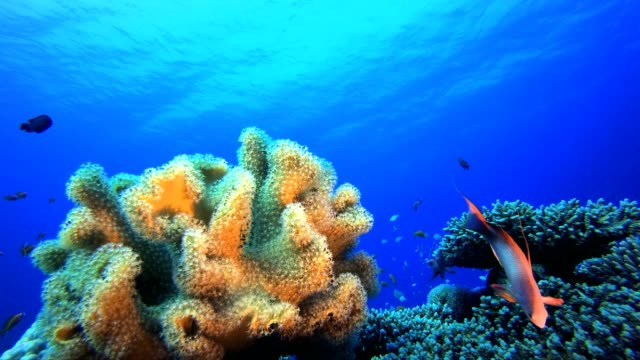 Marine Underwater Tropical Fish Garden Underwater tropical colourful soft-hard corals seascape. Underwater fish reef marine. Tropical colourful underwater seascape. Reef coral scene. Coral garden seascape. Colourful tropical coral reefs aquatic organism stock videos & royalty-free footage
