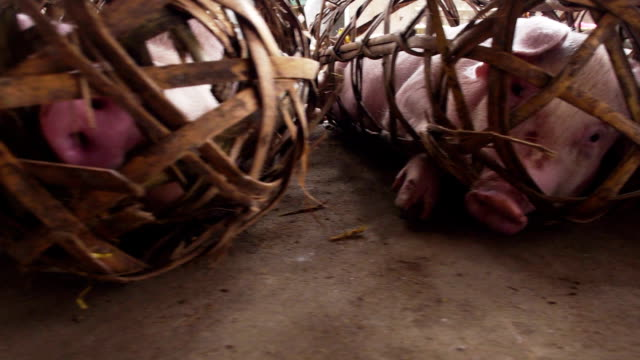 market pigs in tight cages video