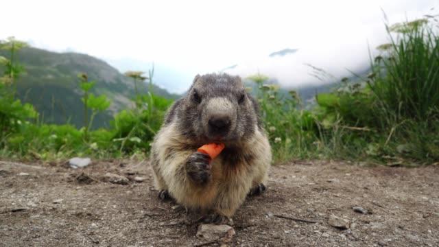 murmeltier essen karotten auf dem hintergrund von furkapass - einzelnes tier stock-videos und b-roll-filmmaterial