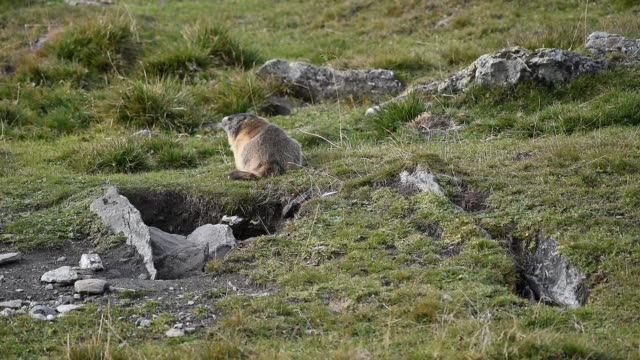 Marmot eating restlessly at the meadow video