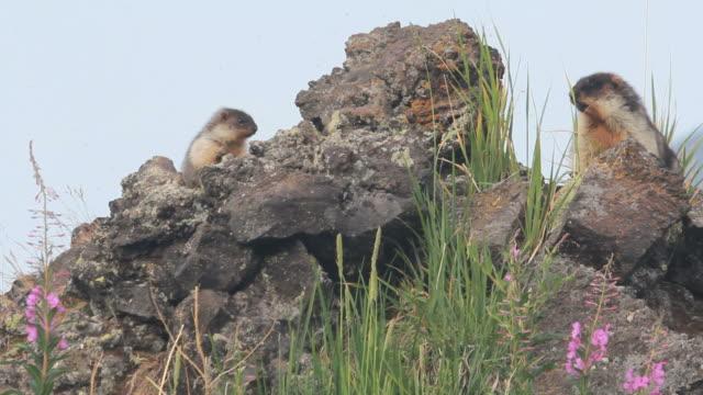 Marmot in the Alps video