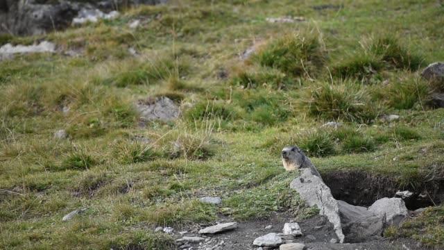 Marmot video