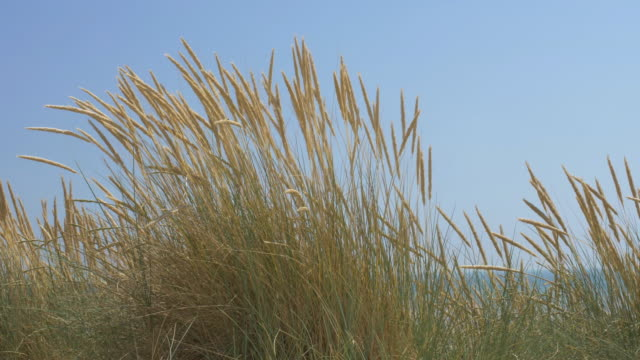 marram grass blowing in the wind, blue sky. ds. - тростник стоковые видео и кадры b-roll