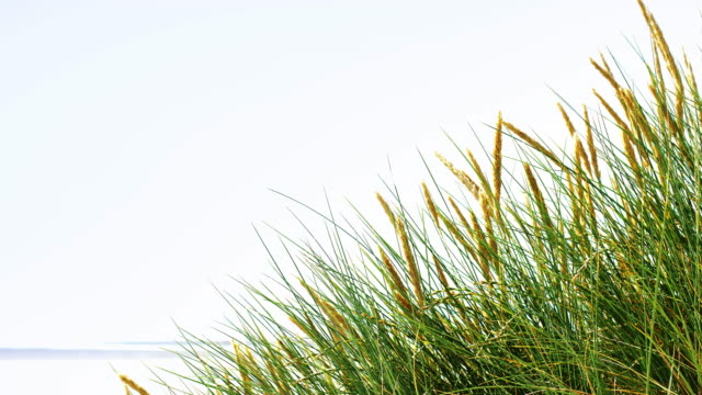 Marram grass by the beach with copy space. Lockdown.