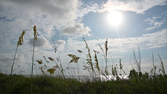 vidéos et rushes de herbe de marram dans les dunes de sable - roseau plante herbacée
