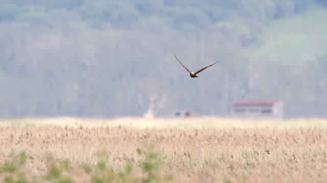 Marsh Harrier Marsh Harrier flying over marshland marsh stock videos & royalty-free footage