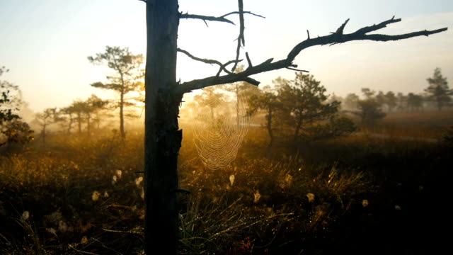 Marshland pine trees with cobwebs during foggy sunrise video