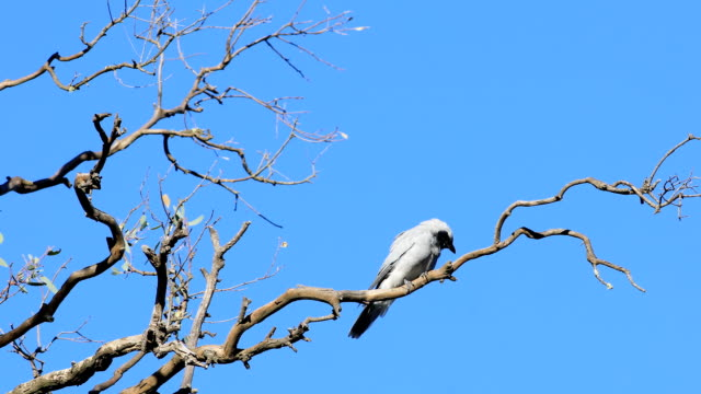 maskierter woodswallow, artamus personatus, thront - endemisch stock-videos und b-roll-filmmaterial