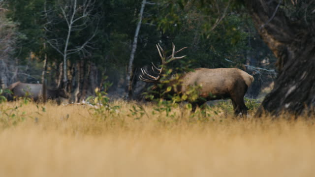 A massive bull elk walks through the trees, bugling as he watches his females.