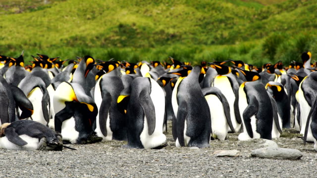 Massive colony of King Penguins stretches along a beach at South Georgia Island Massive colony of King Penguins stretches along a beach at South Georgia Island south georgia and the south sandwich islands stock videos & royalty-free footage