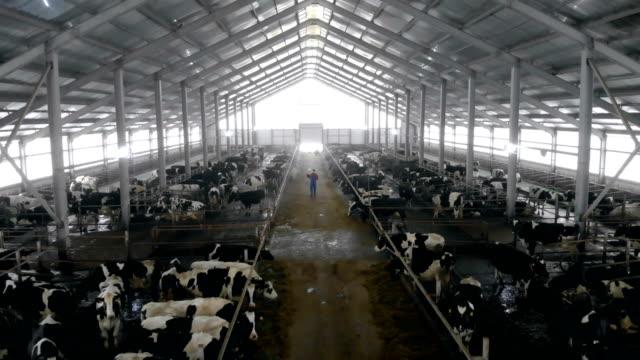 거대한 소와 함께 남성 노동자가 함께 걷고 있습니다. - 젖소 스톡 비디오 및 b-롤 화면