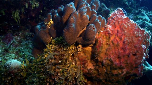 stockvideo's en b-roll-footage met massive neofibularia tubes and barrel sponge - providenciales