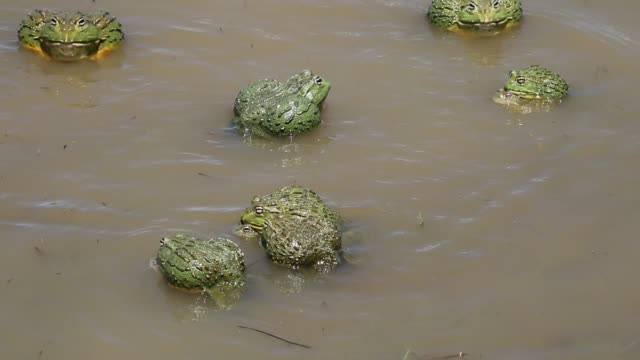 Mating African giant bullfrogs video