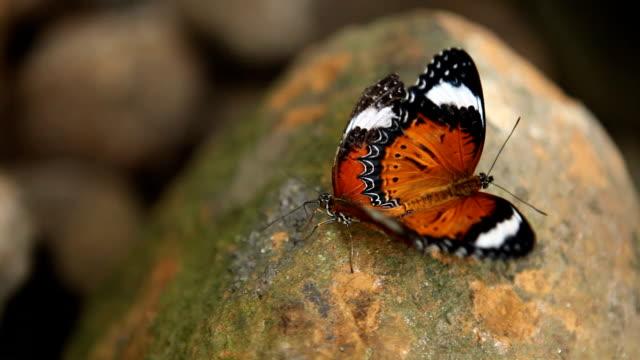gody motyle hd - zachowanie zwierzęcia filmów i materiałów b-roll