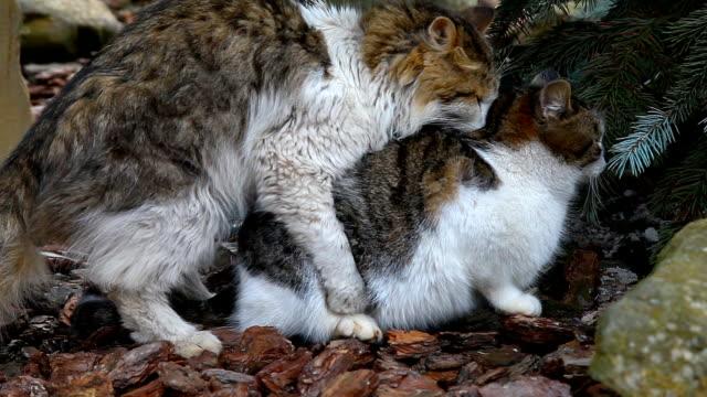 Accouplement chats en plein air - Vidéo