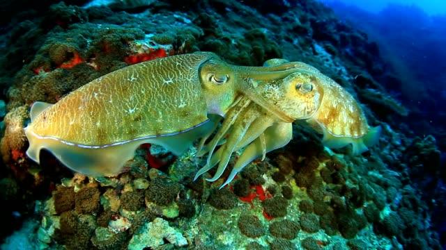 Mating Cuttlefish - vídeo