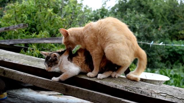 Accouplement les chats domestiques - Vidéo