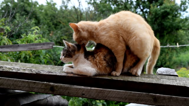 yerli kedi çiftleşme - seks ve çoğalma stok videoları ve detay görüntü çekimi