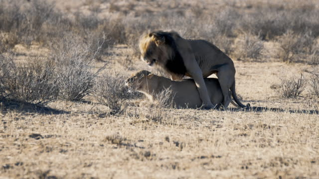 Mating Lions video