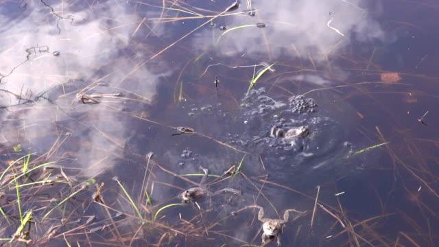 sich paaren marsh frösche - laichen stock-videos und b-roll-filmmaterial