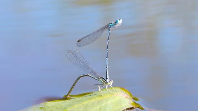 シーズンの dragonflies 嵌合 - 動物の雄点の映像素材/bロール
