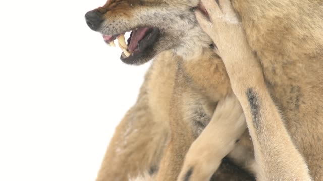mating wolves - lupo video stock e b–roll