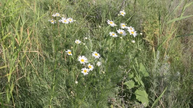 Matricaria blooming among the grass video