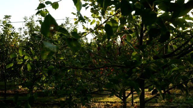 Mature apple trees bearing fruit in apple orchard video