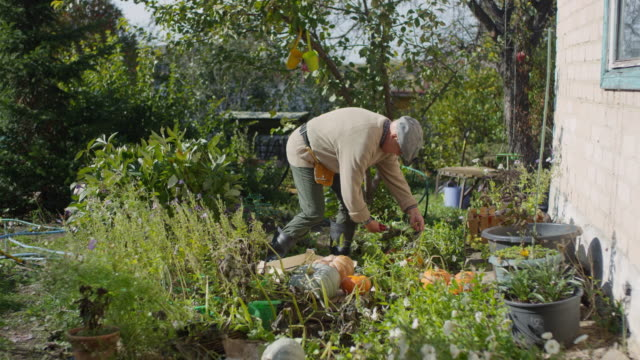Mature Caucasian Man Harvesting Pumpkins in Vegetable Garden