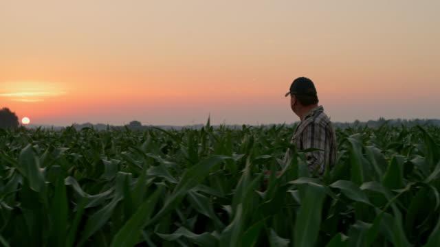 ws agricoltore maturo che cammina attraverso un campo al tramonto - agricoltore video stock e b–roll