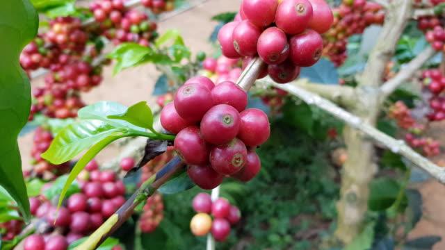 植物のコーヒー豆の成熟した果実 ビデオ