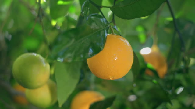 mature juicy oranges ripen on a branch of citrus tree on a sunny day after a tropical rain - arancione video stock e b–roll