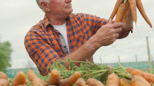 Mature man working on farm Front view of a mature Caucasian male farmer in an organic agricultural field, holding a bunch of carrots carrot stock videos & royalty-free footage