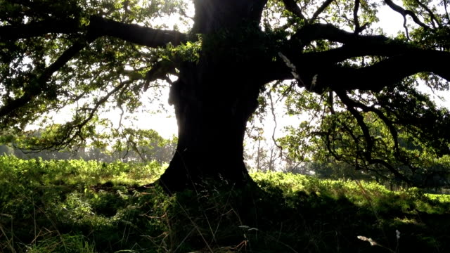 Mature Oak Tree video