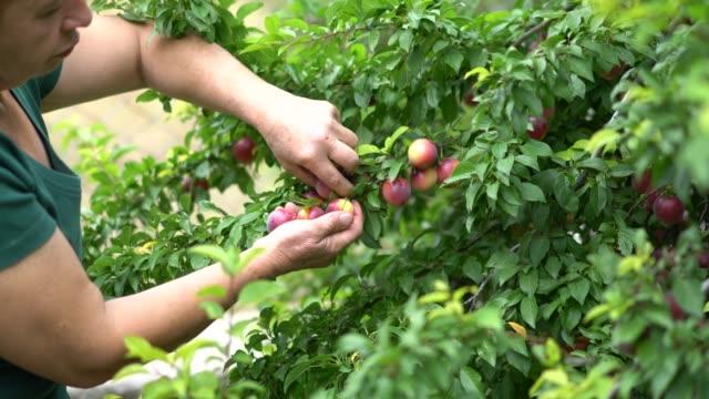Mature women picking red plum