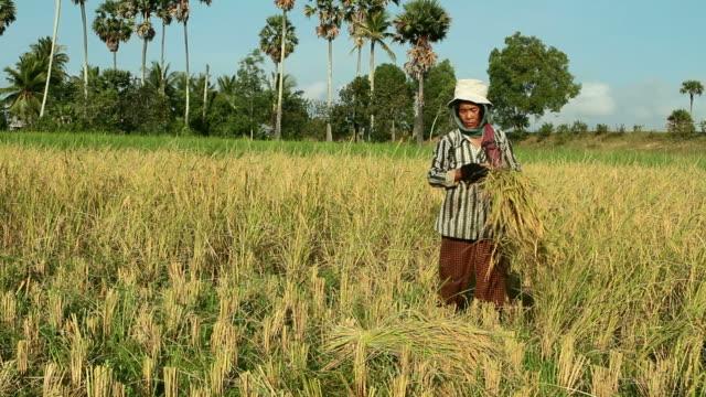 hd: abgehangenes frauen ernten reis in asien - kambodschanische kultur stock-videos und b-roll-filmmaterial