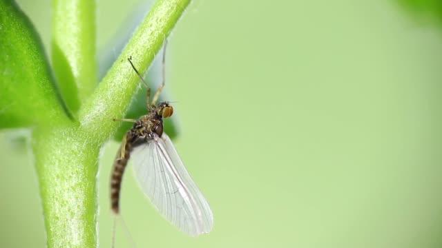 Mayflies or shad flies video